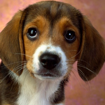 Clifton Beagle